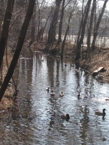 ducks out on the creek