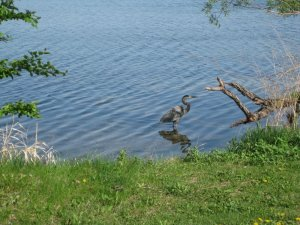 then a walk along the lake on the way home.  Last week we came across this heron.