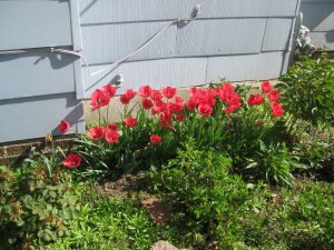 Tulips blooming along the south side of the house